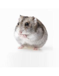 Hamster Roborobski