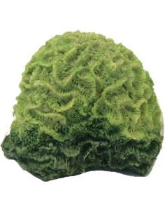 Coral verde
