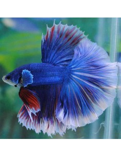 Betta Macho Halfmoon Surtido