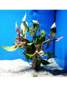 Alternanthera Reinecki var roseifolia