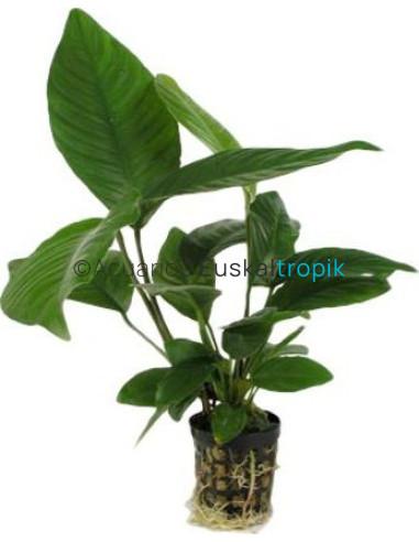 Anubia heterophila