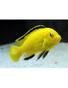 Labidochromis caeruleus amarillo 5-6cm