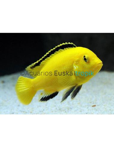 Labidochromis limón