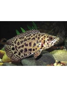 Gurami Leopardo