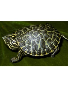 Tortuga verde (Pseudemys Concinna Hieroglyphica)