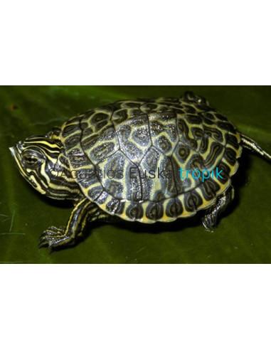 Tortuga verde (Pseudemys Concinna Hieroglyhica)