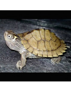 Tortuga marrón (Graptemis Kohnii)