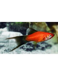 Xipho rojo wagtail