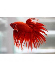 Betta Corona macho surtido