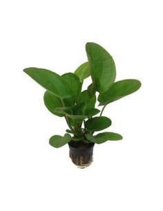 Echinodorus harbich