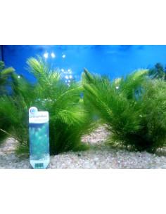 Ceratophyllum demersum (Cola de zorro)
