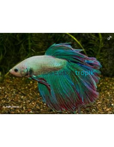 Betta Long Tail bicolor