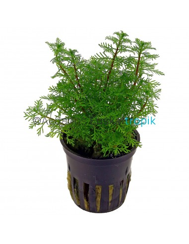Miriophyllum Green
