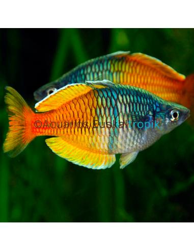 Arcoiris bicolor pareja