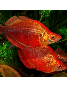 Arcoiris rojo pareja