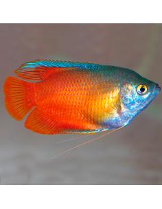Colisa roja macho