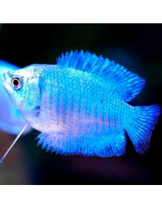 Colisa azul esmeralda macho