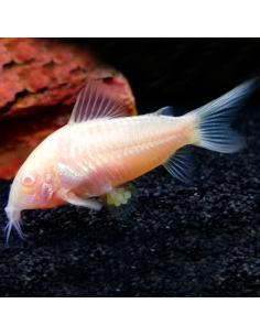Corydora Albina