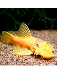 Ancistrus s.p albino