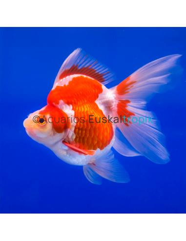 Ryukin rojo y blanco