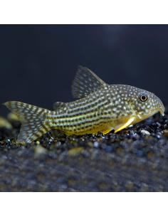 Corydora Sterbai