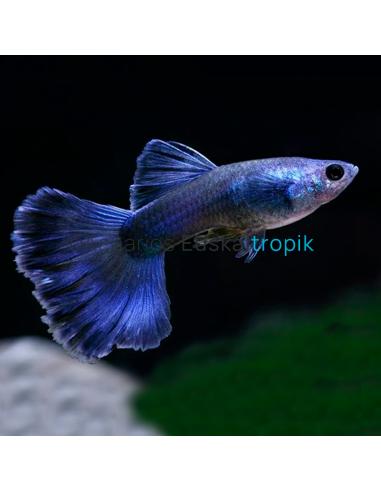 Guppy moscow azul macho