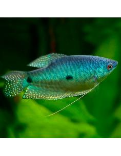 Gurami azul