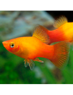 Platy Sunset (Amanecer)