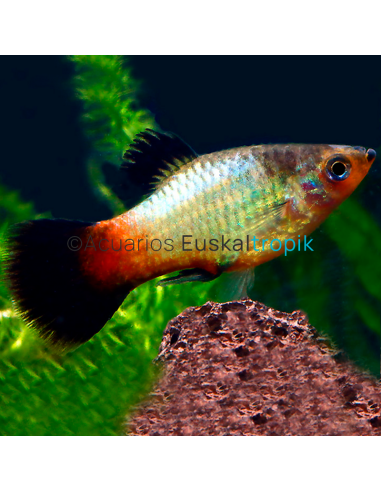 Platy arco iris wagtail
