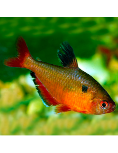 Tetra serpae red
