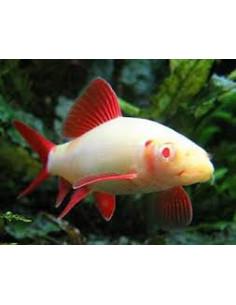 Labeo albino