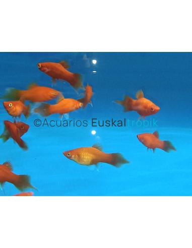 Platy coral rojo pincel
