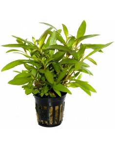 Hygrophila corymbosa var angustifolia