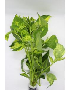 Nomaphila variegata