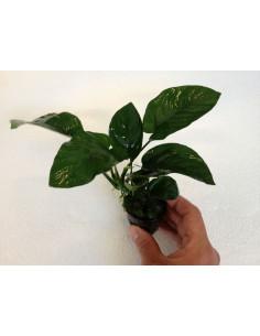 Anubia bartieri Broad leaves