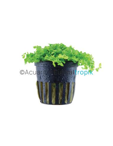 Micranthemum tweediei 'Monte Carlo'
