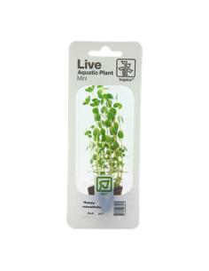 Rotala rotundifolia mini