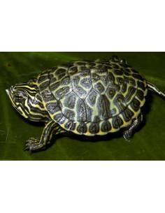 Tortuga verde (Pseudemys Floridana Peninsularis)