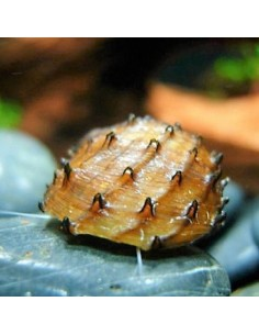 Caracol espinete (Neritina Juttingae)