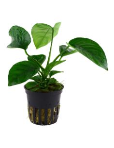 Anubia barteri caladiifolia