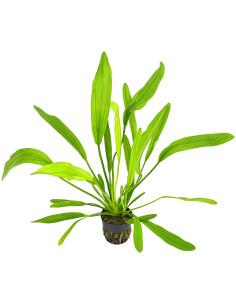 Echinodorus horemani green