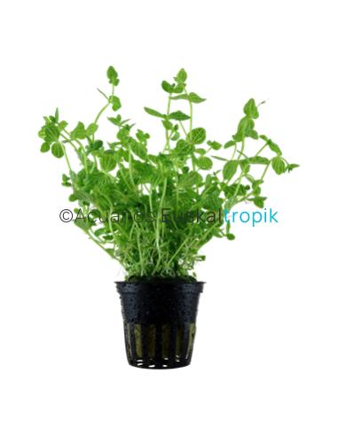 Lindernia rotundifolia