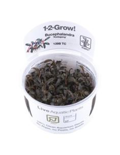 Bucephalandra 'Kedagang' 1-2-Grow!