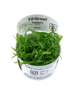 Sagittaria subulata 1-2-Grow!