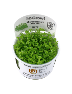 Micranthemum tweediei 'Monte Carlo' 1-2-Grow!