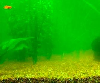Algas en acuarios