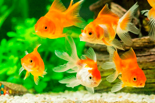 Comprar peces online